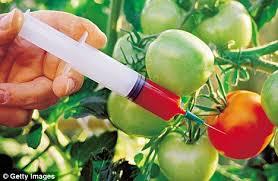 GMO tomatoes - Copy